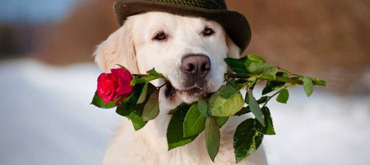 dog-valentine-AS49813405